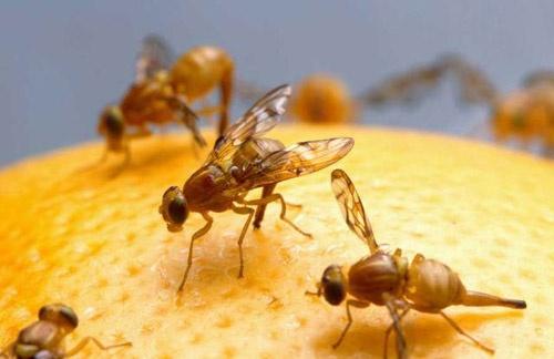 26 municipios de San Luis Potosí, están libres de la mosca de la fruta