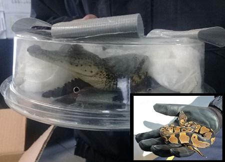 Rescata Policía Federal, especies de reptiles que eran ilegalmente transportadas