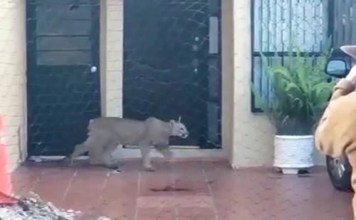 Puma visto el jueves en Morales, es asegurado este domingo en Lomas  [Video]