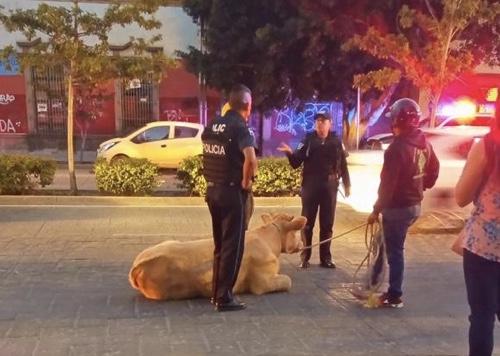 Vaca suelta, sorprende a automovilistas y peatones, recorrió media ciudad, hasta ser asegurada en Carranza